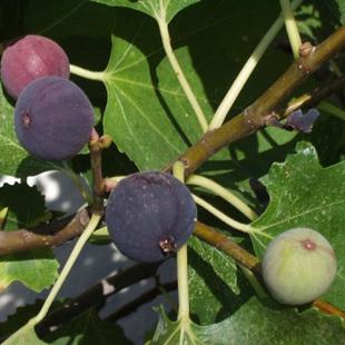 无花果有机肥施用方法