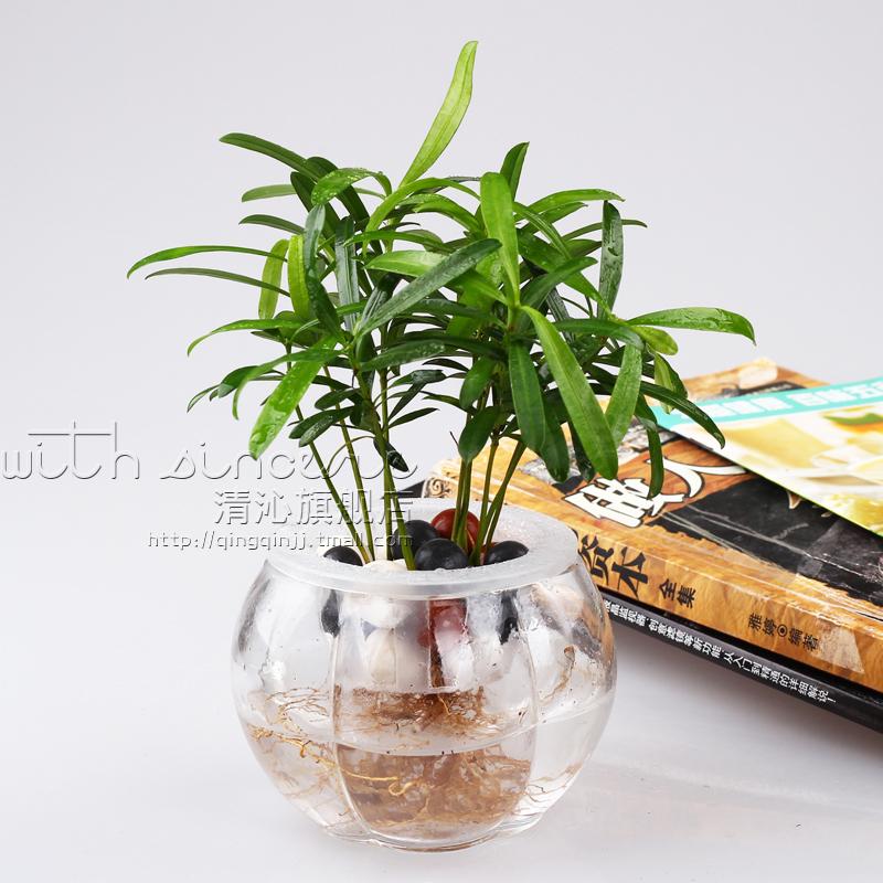 室内 办公室 桌面绿植盆栽 防辐射净化空气植物 大叶罗汉松 套装图片