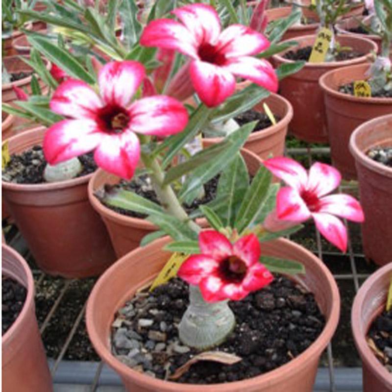 沙漠玫瑰_多肉植物 沙漠玫瑰 净化空气 吸收室内有害气体 懒人花卉当年开花