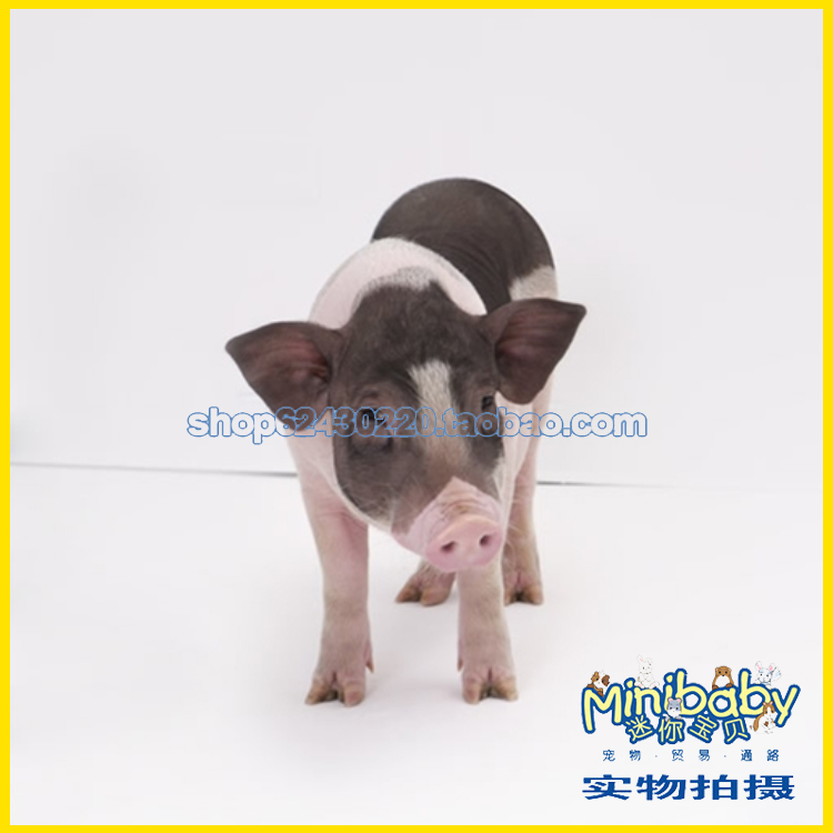 Pets live authentic pet miniature pigs grow fragrant purebred mini pet pig pig full passenger
