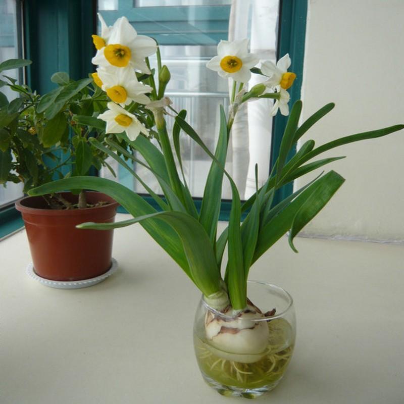 水仙种球_水仙花种子包邮水仙种球植物 洋水仙大球现货水培 带芽出售特价