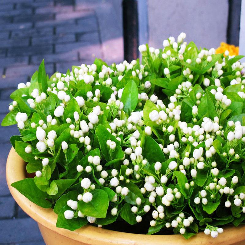花种子_盆栽香花植物四季陆续开花 白色茉莉花苗茉 莉花种子