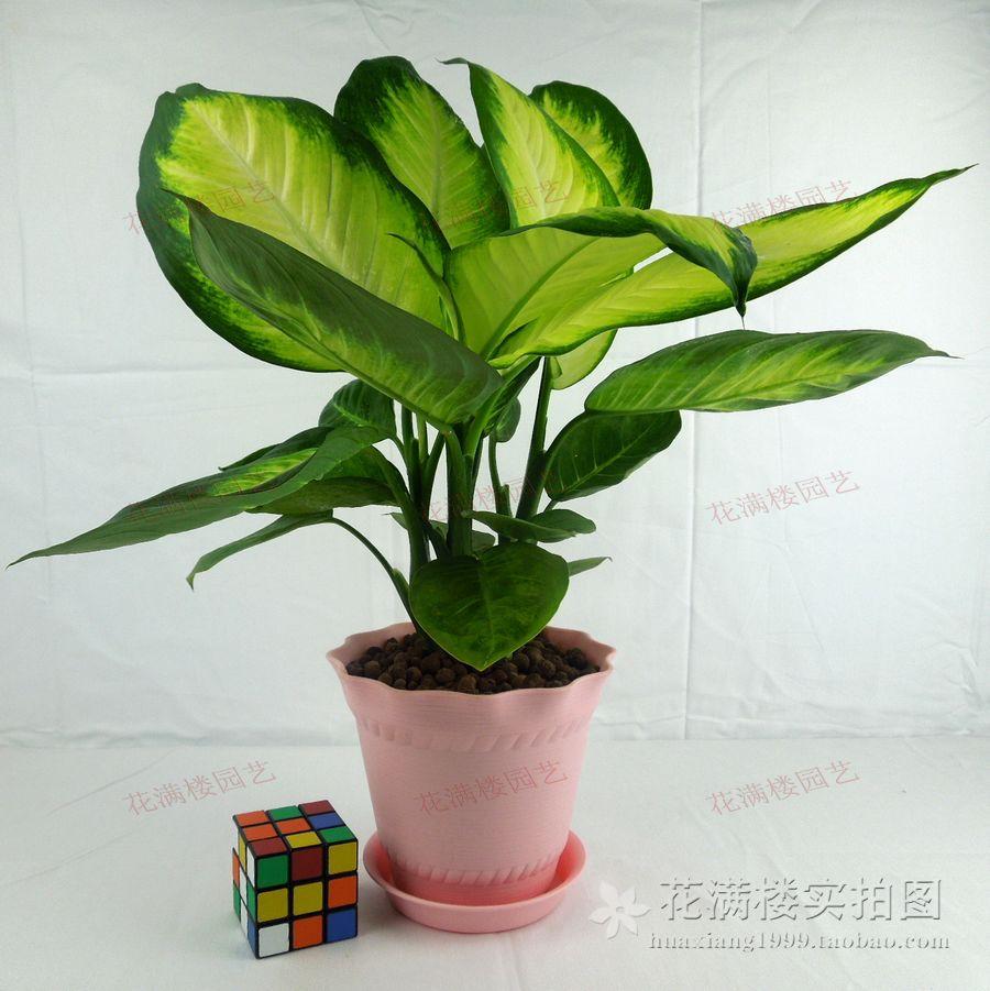 室内吸甲醛净化空气盆栽 银皇后 花叶万年青 彩色观叶