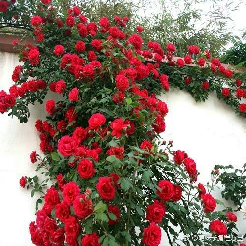藤本月季苗蔷薇欧月花苗 爬藤植物盆栽 玫瑰绿植 庭院爬藤蔷薇苗