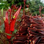 红秋葵种子四季种水果蔬菜种籽夏季耐热秋季春季农家大田黄秋葵苗
