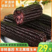 东北黑糯玉米真空装包新鲜现摘非转基因低脂香糯紫黏玉米棒非即食