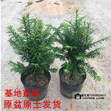 正宗南方红豆杉树苗盆栽四季常青植物公母盆景室内净化空气吸甲醛