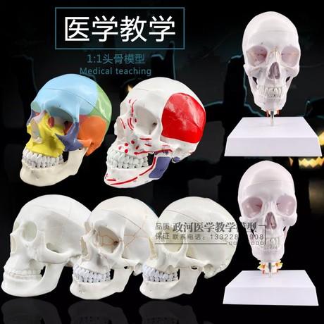 头骨模型美术