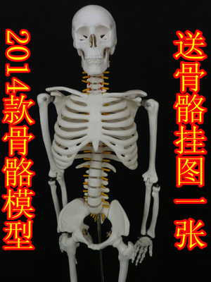 Send parsing Figure newest 85CM human skeleton model is 85 centimeters bones of the spine model skeletons