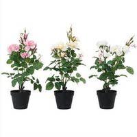 【天天特价】包邮玫瑰花苗花卉 绿植盆栽赛蔷薇苗 百合欧月大花