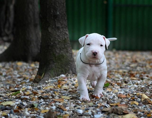 出售纯杜高幼犬杜高狗 阿根廷杜高猎犬 打野猪专用可上门看狗bqw
