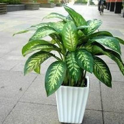 银皇后万年青 桌面 家居客厅 办公室 大型盆栽植物 净化空气
