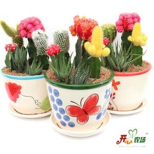创意鲜花花盆品 桌面园艺迷你盆栽 多株彩色仙人球防辐射多肉绿植