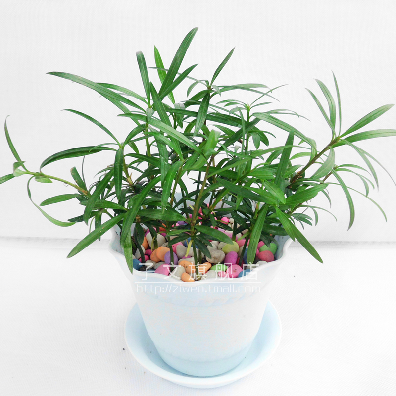 大叶罗汉松 桌面盆栽 净化空气 清秀可爱 盆 土 苗 肥 彩石图片