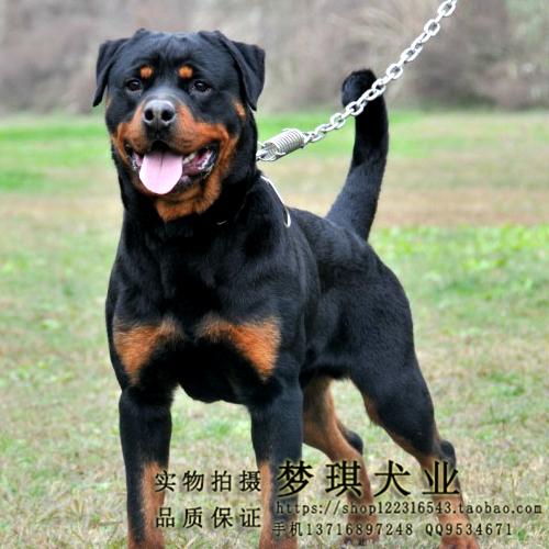 罗威拿犬体重_罗威拿犬_罗威拿犬