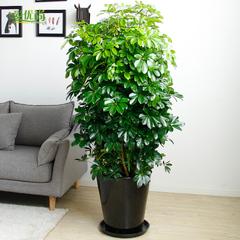 爱优尚鸭脚木盆栽大型七叶莲绿植客厅吸甲醛尼古丁鹅掌柴老板树