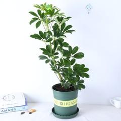 鸭脚木鸭掌木吸甲醛净化空气办公室植物盆栽吸尼古丁鹅掌柴七叶莲