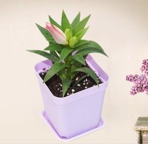种根花卉绿植盆栽 进口香水百合花球径大球 百合球根 带芽百合苗