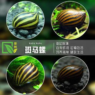 斑马螺活体观赏螺水族箱强效清洁草缸鱼缸除藻工具西瓜螺汽水螺