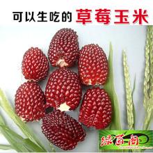 迷你型草莓玉米种子 生吃水果玉米籽 可以盆栽地栽香甜好吃苞米