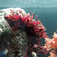 海藻观赏活体 红鹿角藻 有效去除NO3 PO4 藻缸必备