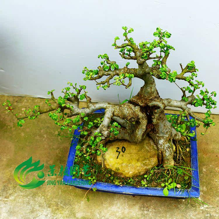 榔榆 小叶榆树 下山桩 庭院室内盆景树桩 映山红杜鹃花 黄荆紫藤图片