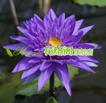 睡莲新品种[希姆之王]观赏睡莲种根\盆栽睡莲 价格:8.00