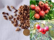 山楂种子 五星山楂种子 山里红种子 山楂种子 山楂树种 果树种子 价格:2.00