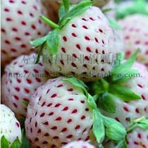 白草莓种子 四季盆栽草莓种子 水果草莓种子 可四季播种 多年可采 价格:1.79