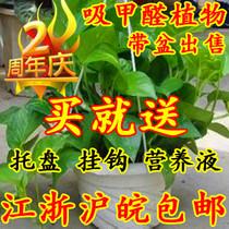 绿萝吊兰 盆栽植物花卉 可水培 装修房 办公室净化空气 吸甲醛 价格:18.00