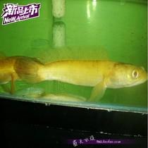 【蓝天水族】热带鱼 观赏鱼 黄金海象鱼 海象鱼 黄金雷龙鱼 热卖 价格:150.00
