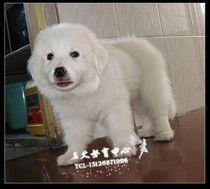 犬舍出售 纯种大白熊犬 百分之百纯种 巨型大白熊宝宝 价格:4400.00