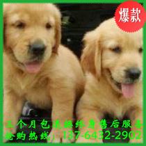 爆款!出售家养纯种金毛犬/幼犬/黄金猎犬/大头金毛大型宠物狗 价格:1580.00