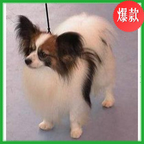 爆款!出售家养纯种蝴蝶幼犬/蝴蝶犬/纯种/幼犬/黄白黑花犬 价格:2000.00