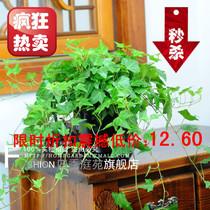 常春藤 中型盆栽绿植 净化空气 垂吊吊兰植物 限时折扣震撼低价 价格:12.60