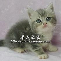 自养纯种猫咪/宠物猫/英国短毛猫/折耳猫领养 乳白虎斑 立耳GG 价格:1880.00