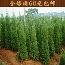 出售 四季长青 柏树 价格:10.00