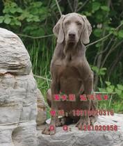 【爱犬屋】售威玛猎犬魏玛犬魏玛猎犬威玛犬狩猎犬指示犬嗅觉犬 价格:6000.00