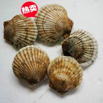 鲜优源 鲜活扇贝 清蒸烧烤碳烧  优质活扇贝 新鲜野生扇贝60-70克 价格:6.00
