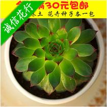 多肉植物 吸辐射植物 观音莲 迷你盆栽 办公桌的伙伴 吸毒植物 价格:10.00