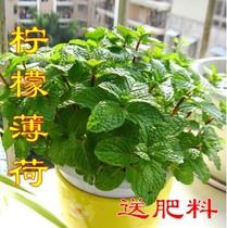 阳台盆栽 柠檬薄荷 淡香型食用型 可泡茶 净化空气 驱蚊吸甲醛 价格:7.00