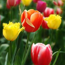 室内绿植盆栽 水培植物 郁金香种球 当年开花 多个品种 新手易种 价格:0.64