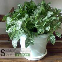 吸油烟 防辐射 盆栽 网纹草 观叶植物 净化空气清 新空气好帮手 价格:9.50
