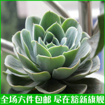 6件包邮 石莲花 宝石花 静夜仙人多肉植物 防辐射 室内盆栽植物 价格:6.00