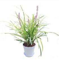 【会员购】新品种盆栽观花 薰衣草  宁静的香水植物 价格:26.00
