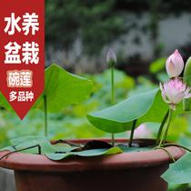 水培盆栽花卉 碗莲花种子 水养植物小睡莲 迷你荷花观赏花卉 价格:0.30