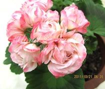 预售M9直立重瓣玫瑰天竺葵 苹果碗Appleblossom营养钵壮苗9月底发 价格:43.00