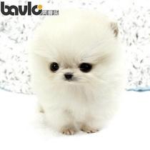 芭普乐宠物 家养博美犬/幼犬/宠物狗狗出售/茶杯型/玩具型/迷你型 价格:2800.00