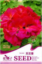 花卉种子 天竺葵种子 洋葵 石蜡红 爱丽特系列 猩红色 6粒/包 价格:0.55