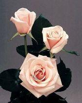 盆栽花卉植物★高档玫瑰★ 托斯卡尼包成活 价格:4.95